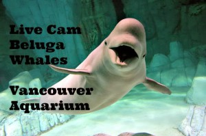 http://www.vanaqua.org/learn/see-and-learn/live-cams/beluga-cam